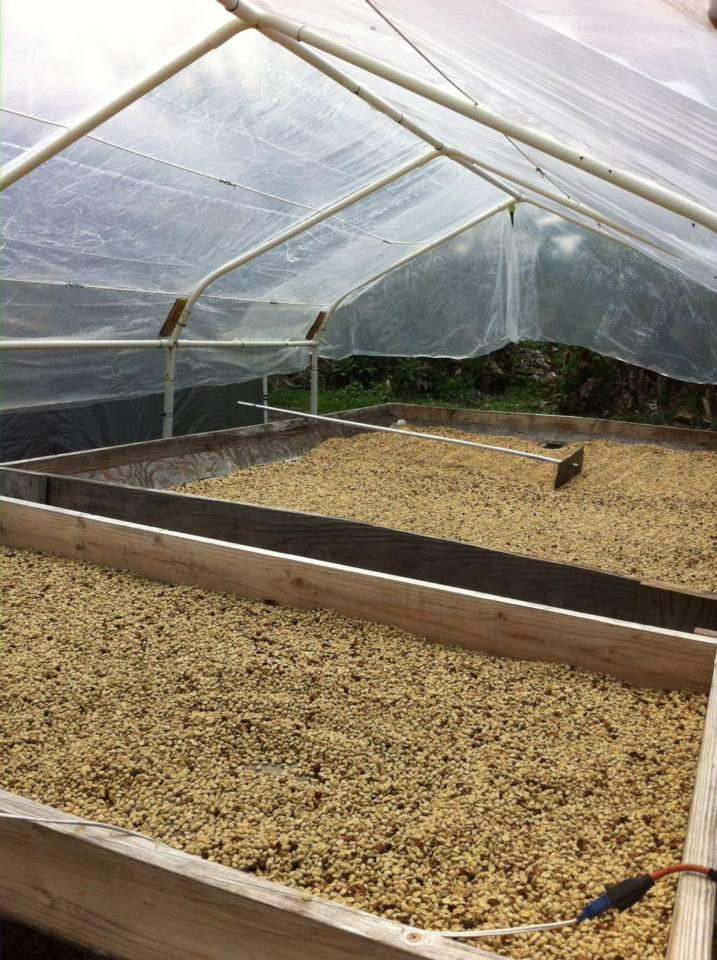 Captain's Ohana Farm, drying pitted coffee beans
