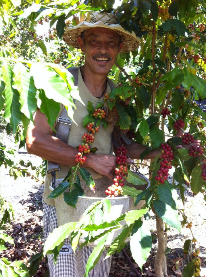 Captain's Ohana Farm, picking coffee cherries